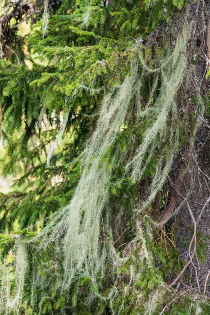 Huldrestry er en sjelden truet art som opptrer i fuktig grandominert skog. Foto: Svein M. Søgnen